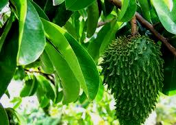 manfaat dan khasiat daun sirsak